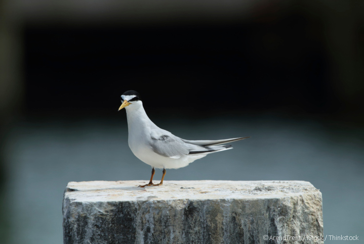 LEP_Least-Tern